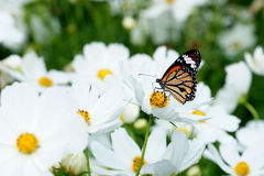 Butterfly on white cosmos flower in  the nature Royalty Free Stock Images
