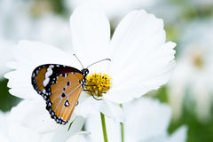 Butterfly on white cosmos flower in  the nature Stock Photo