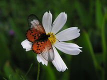 Butterfly on White Cosmos Royalty Free Stock Photo