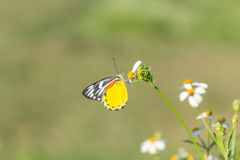 Butterfly and white daisies Stock Image