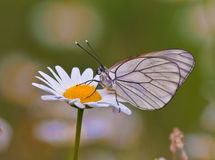 Butterfly on a white daisy in a green field Royalty Free Stock Photo