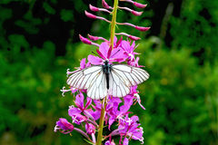Butterfly white on fireweed Stock Image