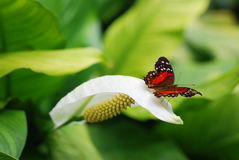 Butterfly on a white flower royalty free stock image