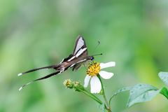Butterfly in white flower Royalty Free Stock Image