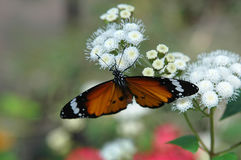 Butterfly on white flower 6 Stock Photography