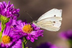 Butterfly. A white butterfly on a flower stock images