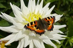 Butterfly on White Flower. A colorful butterfly on a white flower Stock Image