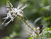 Butterfly on white flower. A butterfly captured still on a beautiful white flower Stock Image