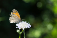 Butterfly on white flower Royalty Free Stock Photography
