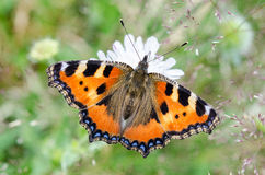 Butterfly on a white flower. Small tortoiseshell - Aglais urticae. Close-up of colorful winged insect on the bloom with blurred green background royalty free stock image