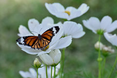 Butterfly and white flower in the garden Common tiger butterfly Stock Photos