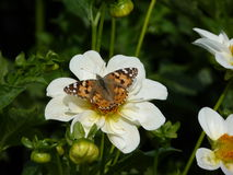 BUTTERFLY ON WHITE FLOWER Stock Image