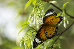 Butterfly and White Flower Royalty Free Stock Images