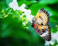 Red Admiral butterfly. On white flower Stock Image