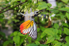 Butterfly on a white flower Royalty Free Stock Photo