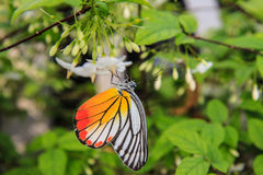 Butterfly on a white flower Stock Photography