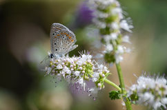 Butterfly and white flowers. A beautiful butterfly on white flowers, on blurry background Royalty Free Stock Image