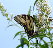 Butterfly, white flowers and blue sky. Eastern Swallowtail butterfly on butterfly bush Royalty Free Stock Image