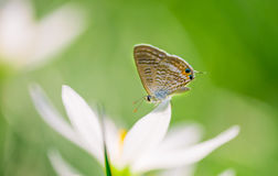 Butterfly on white flowers Stock Photography