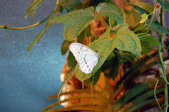 Butterfly. White butterfly on green leaf Royalty Free Stock Photos