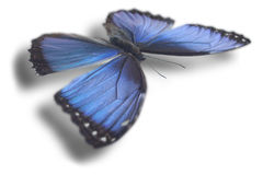 Butterfly  on white. Butterfly (Morpho peleides)  on white background. Clipping path included Stock Images