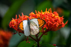 Butterfly white and orange. A white and orange tropical butterfly Royalty Free Stock Photography