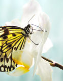 Butterfly on a white orchid Stock Image