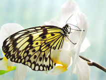 Butterfly on a white orchid Stock Photos