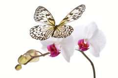 Butterfly on white orchids. Stock Photography