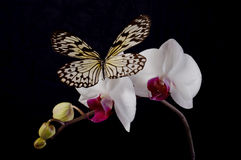 Butterfly on a white orchids. Stock Photography