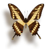 Butterfly  on white. Royalty Free Stock Photography
