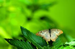 Butterfly, white peacock on green leaves Royalty Free Stock Photos