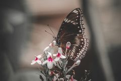 Butterfly On White Petaled Flowers Royalty Free Stock Image