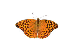 Butterfly on white. Silver-washed Fritillary butterfly closeup isolated on white background - Argynnis paphia Royalty Free Stock Photos