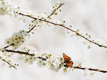 Butterfly on white spring flowers Royalty Free Stock Photo