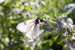 The butterfly is white with transparent wiry wings Royalty Free Stock Photos