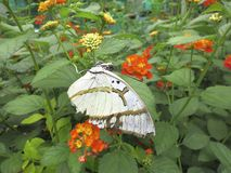 Butterfly With White Wings. A butterfly with white wings on a flower Stock Images