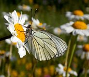 Butterfly. White wings of a butterfly on a flower Stock Photography