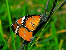Butterfly,,the wild beauty of nature royalty free stock images