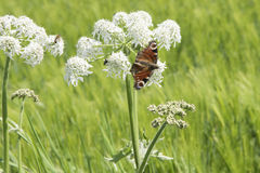 Butterfly on wild carrot umbel. Butterfly and insects on field edge in rural environment Stock Images