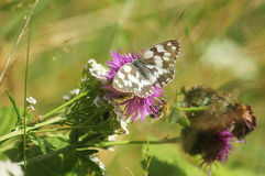 Butterfly on a wild flower Stock Image
