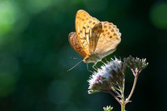 Butterfly on wild flower Royalty Free Stock Photography
