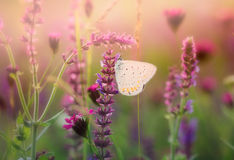 Butterfly on the wild flower Stock Photo