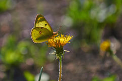 Butterfly  on a wild flower. Stock Photos