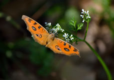 The butterfly is on wild flower Stock Image
