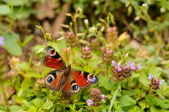 Butterfly on a wild flower Royalty Free Stock Image