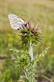 Butterfly on a wild flower Royalty Free Stock Images