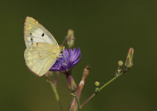 Butterfly on wild flower Stock Image