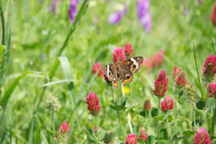 Butterfly on wild flowers in lush meadow Royalty Free Stock Photography