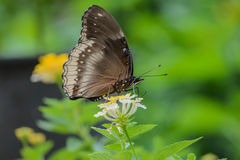 The butterfly in wild life. The butterfly is sipping nectar through its proboscis on flowers on forest background royalty free stock images